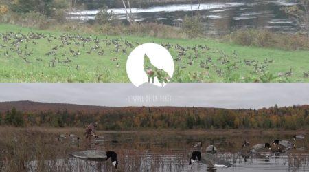 L'Appel de la Forêt – Chasse à la bernache