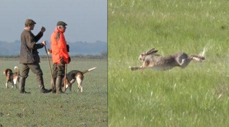Lièvre des marais au chien courant