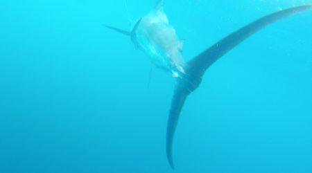 Marlin des Almadies