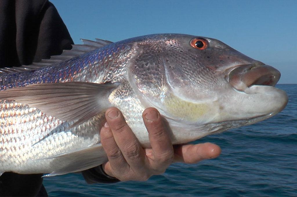La pêche au Denti en Corse - Elmer TV