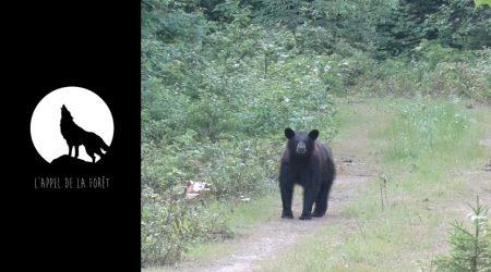 L'Appel de la Forêt – L'ours noir des Laurentides à l'arc