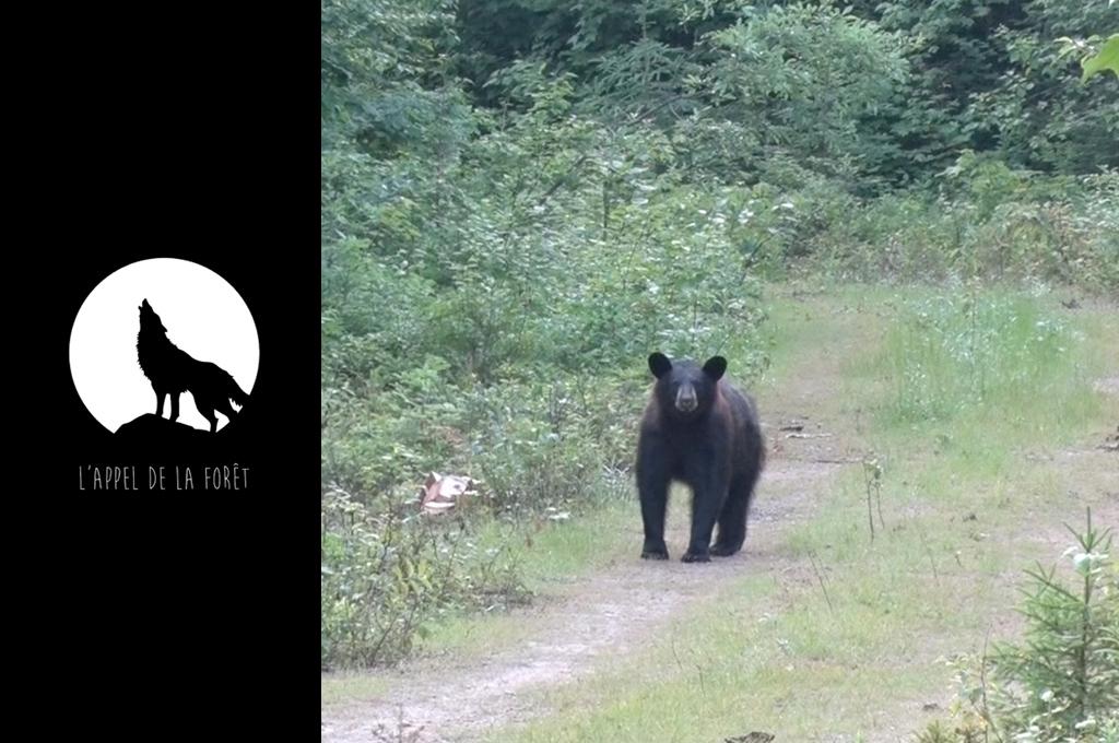 AF - ours noir des Laurentides