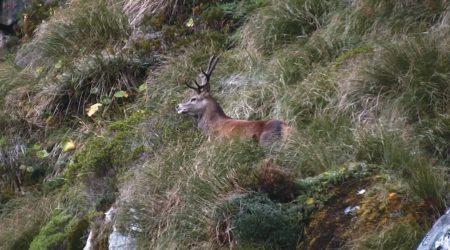 Fiordland, l'invasion du cerf