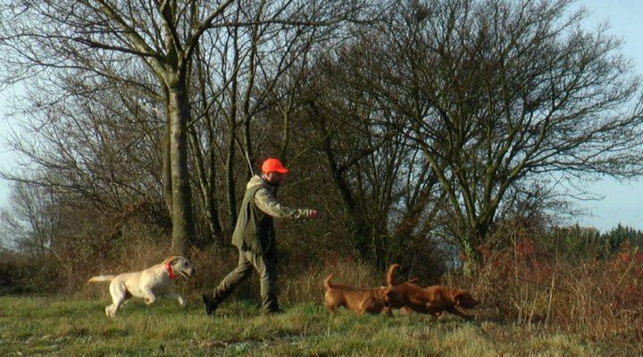 Lapins aux fauves de Bretagne et au labrador