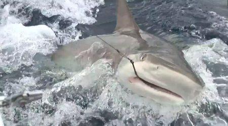 """Pêche en Guadeloupe """"Requin au vif…"""