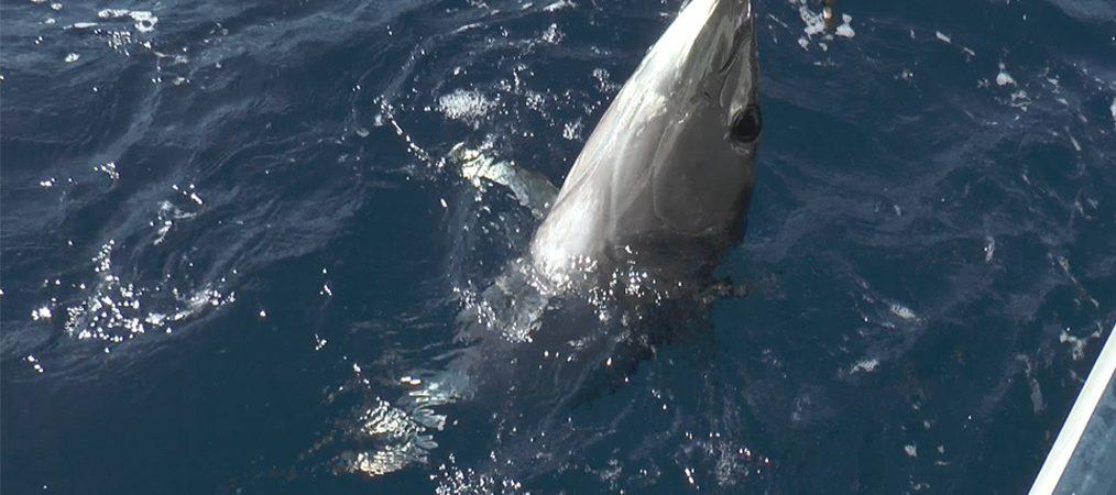 Pêche au thon, la Corse