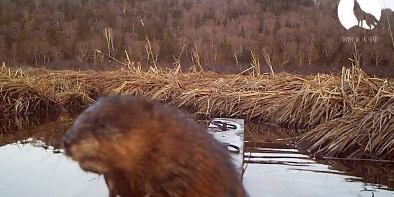 L'Appel de la Forêt – Trappe du rat musqué au printemps